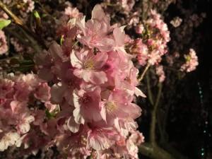 桜,SAKURA,さくらまつり,河津桜,神奈川県,足柄,上郡,松田町,