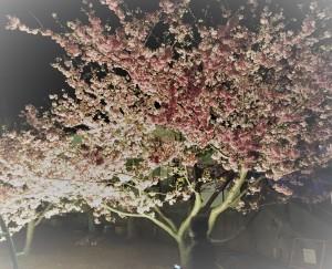桜,お花見,赤羽,荒川,東京都,北区