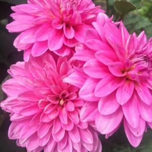 花,フラワー,ダリア,自然,美しい